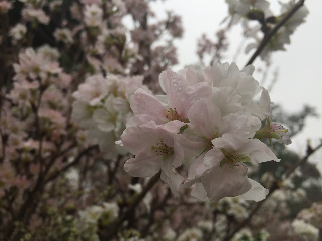 Trên nững cánh hoa Ánh đào đọng lại những giọt mưa xuân