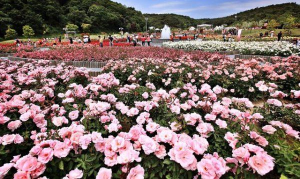 Hơn 300 loài hoa hồng đua nhau khoe sắc tại Lễ hội