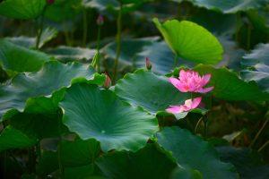 Những loài hoa khiến Hà Nội rực rỡ khi hè về