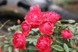 Sự kiện 'Hoa hồng Bulgaria 2019' sẽ diễn ra vào đầu tháng 3