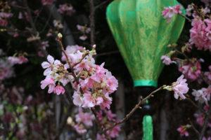 Chiêm ngưỡng hình ảnh Lễ hội hoa anh đào trước giờ khai mạc